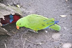 Male and female eclectus parrot stock photos