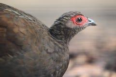 Edwards pheasant. The female of Edwards pheasant stock photography