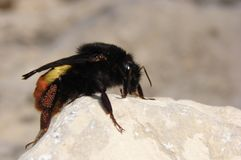 Carpenter bee. Female eggs carpenter bee beetle s bees insect insects sting royalty free stock photos