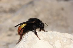 Carpenter bee. Female eggs carpenter bee beetle s bees insect insects sting stock images