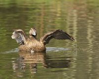 An Eider Duck low level shot. A female Eider Duck flapping her wings after preening herself stock photos