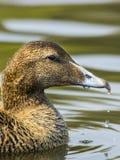 Female Eider duck / Somateria mollissima Stock Images