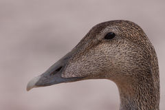 Female Eider portrait Royalty Free Stock Images