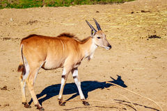 Female Eland Antelope Royalty Free Stock Image