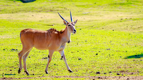 Female Eland Antelope Royalty Free Stock Photos