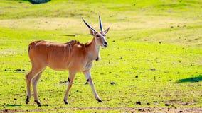 Female Eland Antelope Royalty Free Stock Photos