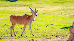 Female Eland Antelope Royalty Free Stock Photography