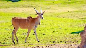 Female Eland Antelope Royalty Free Stock Photography