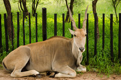 south africa antelope Royalty Free Stock Image