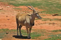 Female eland, Taurotragus oryx, South Africa Royalty Free Stock Photo