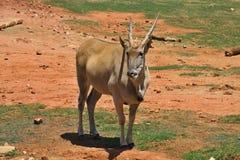 Female eland, Taurotragus oryx, South Africa Stock Photo