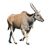 Female eland walking cutout. Female eland antelope (Kanna) walks isolated over white background Stock Images