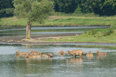 Female elaphure in water. Herd of female elaphure deer in water Royalty Free Stock Photos