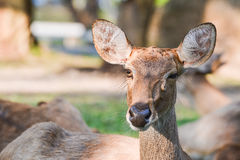 Female Eld's deer (Cervus eldi thamin). In sunlight Royalty Free Stock Image