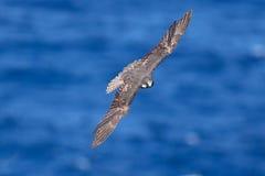 Female of Eleonora`s falcon Falco eleonorae stock image