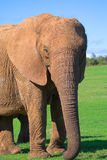 Female Elephant Royalty Free Stock Image
