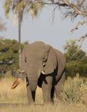 Female Elephant Stock Photo