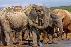 Free Female Elephant Royalty Free Stock Images - 9224089