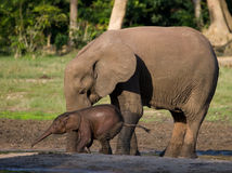 Female elephant with a baby. Central African Republic. Republic of Congo. Dzanga-Sangha Special Reserve.  An excellent illustration Royalty Free Stock Images