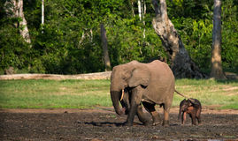 Female elephant with a baby. Central African Republic. Republic of Congo. Dzanga-Sangha Special Reserve.  An excellent illustration Stock Images