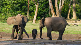 Female elephant with a baby. Central African Republic. Republic of Congo. Dzanga-Sangha Special Reserve.  An excellent illustration Royalty Free Stock Image