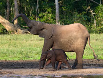 Female elephant with a baby. Central African Republic. Republic of Congo. Dzanga-Sangha Special Reserve.  An excellent illustration Royalty Free Stock Photos
