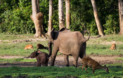Female elephant with a baby. Central African Republic. Republic of Congo. Dzanga-Sangha Special Reserve.  An excellent illustration Royalty Free Stock Photo