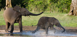 Female elephant with a baby. Central African Republic. Republic of Congo. Dzanga-Sangha Special Reserve.  An excellent illustration Stock Image