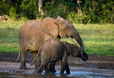 Female elephant with a baby. Central African Republic. Republic of Congo. Dzanga-Sangha Special Reserve.  An excellent illustration Royalty Free Stock Photography