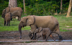 Female elephant with a baby. Stock Photo