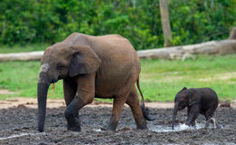 Female elephant with a baby. Stock Image