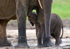 Female elephant with a baby. Royalty Free Stock Photo