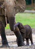 Female elephant with a baby. Central African Republic. Republic of Congo. Dzanga-Sangha Special Reserve. An excellent illustration stock photo