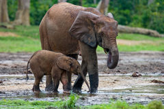 Female elephant with a baby. Central African Republic. Republic of Congo. Dzanga-Sangha Special Reserve.  An excellent illustration Stock Photography