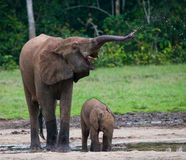 Female elephant with a baby. Central African Republic. Republic of Congo. Dzanga-Sangha Special Reserve.  An excellent illustration Stock Photos