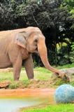 Female elephant & blue ball royalty free stock image