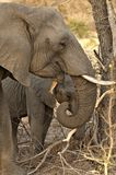 Female Elephant and Calf side view Royalty Free Stock Photo
