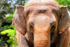 Female elephant closeup Stock Photo