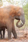 Female Elephant Stock Photos