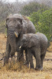 Female elephant  with her son Stock Photos