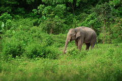 Female elephant near the rainforest. Thailand Royalty Free Stock Images