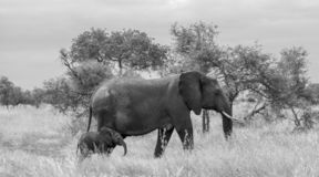 Female elephant with tiny newly born calf walk in the long grass at Kruger National Park, South Africa. stock photos