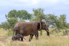 Female elephant with tiny newly born calf walk in the long grass at Kruger National Park, South Africa. Female elephant with newly born calf walk in the bush at royalty free stock image