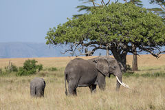 A female elephant projecting its kid Royalty Free Stock Photography