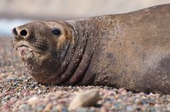 Female Elephant Seal Royalty Free Stock Photo