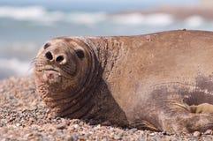 Female Elephant Seal royalty free stock image