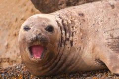 Female Elephant Seal royalty free stock photos