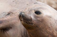 Female Elephant Seal royalty free stock images