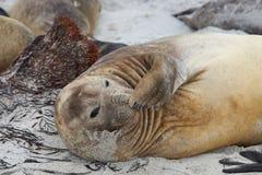 Female Elephant Seal - Falkland Islands. Female Southern Elephant Seal (Mirounga leonina) during the breeding season on Sealion Island in the Falkland Islands Stock Photography