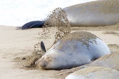 Female elephant seal flipping sand onto her back for sunscreen stock images